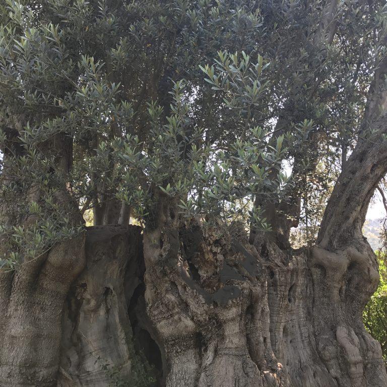 Palermo, Favorita, Ulivo millenario